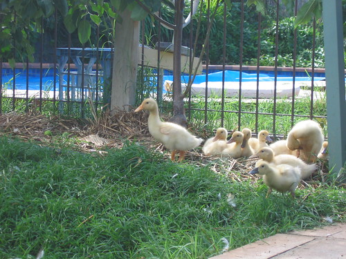 Ducklings one month old