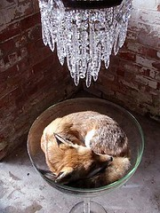 a fox curled up in a glass bowl