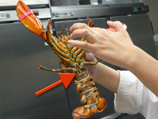 lobster anatomy