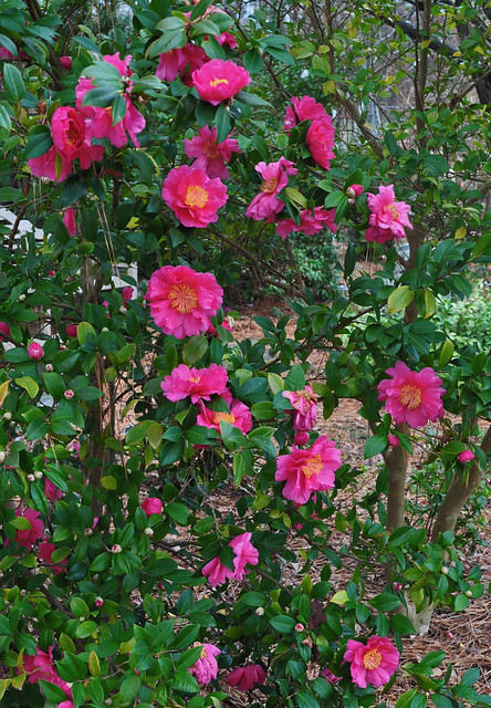 Camellia sasanqua - unknown seedling (2)