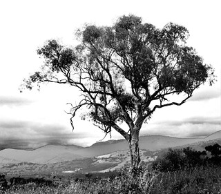 Lone gumtree overlooking valley, Canberra, Australia. ©2011 Tom Crossan.