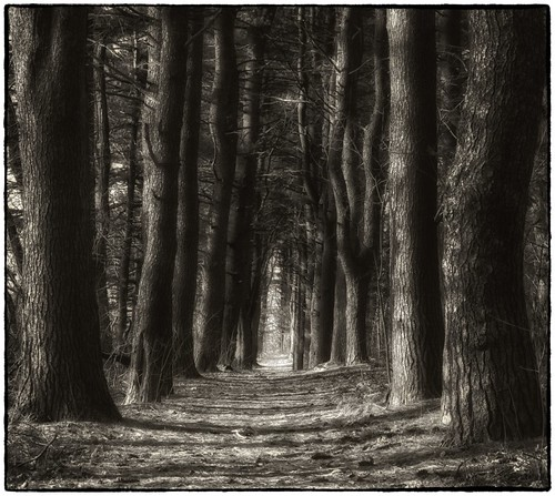 trees bw nature pine forest dark moody path hdr treetunnel