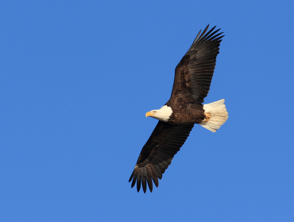 Bald Eagle in flight - Minnesota River