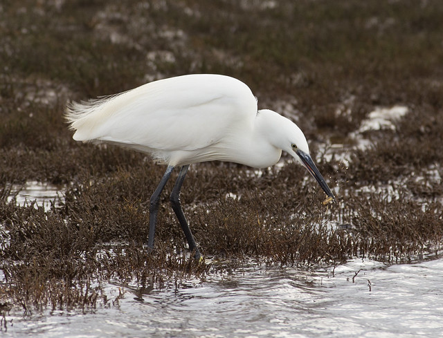 little egret 20