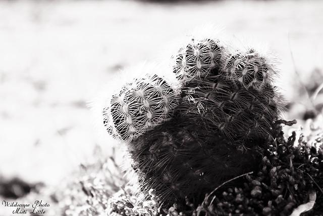 Echinocereus reichenbachii