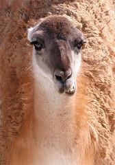 vicuã±a(0.0), arabian camel(0.0), animal(1.0), mammal(1.0), llama(1.0), fauna(1.0), guanaco(1.0), wildlife(1.0),