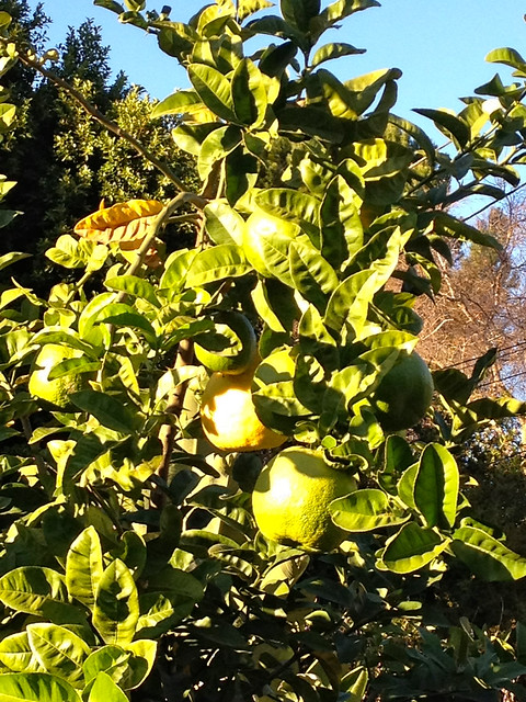 Giant citrus