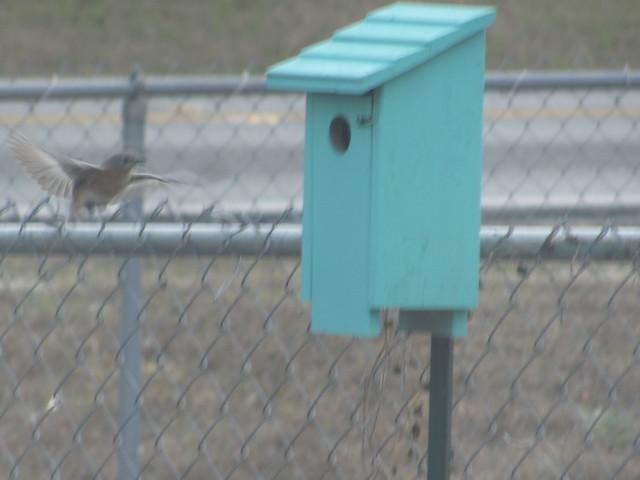 Female bluebird flying to box