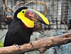 hornbill(0.0), perching bird(0.0), animal(1.0), branch(1.0), yellow(1.0), toucan(1.0), fauna(1.0), coraciiformes(1.0), beak(1.0), bird(1.0), wildlife(1.0),