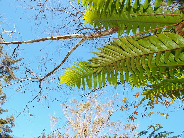 崖薑蕨的天空