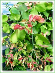 Potted Euphorbia bracteata (Little Bird Flower, Tall Slipper Flower, 'Xiao Niao Hua') shrub, at a shop's entrance
