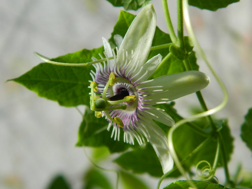 some of my passiflora - Page 3 6717412227_204b0dfe24