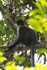 indri(0.0), squirrel monkey(0.0), lemur(0.0), macaque(0.0), animal(1.0), branch(1.0), monkey(1.0), mammal(1.0), fauna(1.0), spider monkey(1.0), old world monkey(1.0), new world monkey(1.0), wildlife(1.0),