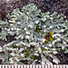Rosette Lichens - Photo (c) Richard Droker, some rights reserved (CC BY-NC-ND)