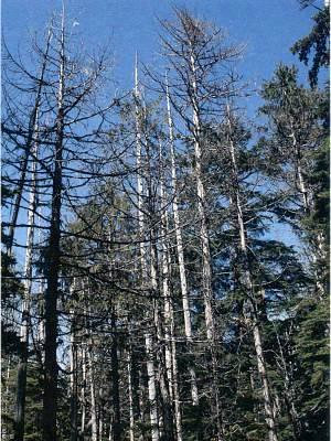 The stark effects of yellow cedar die-off (Photo US Forest Service)