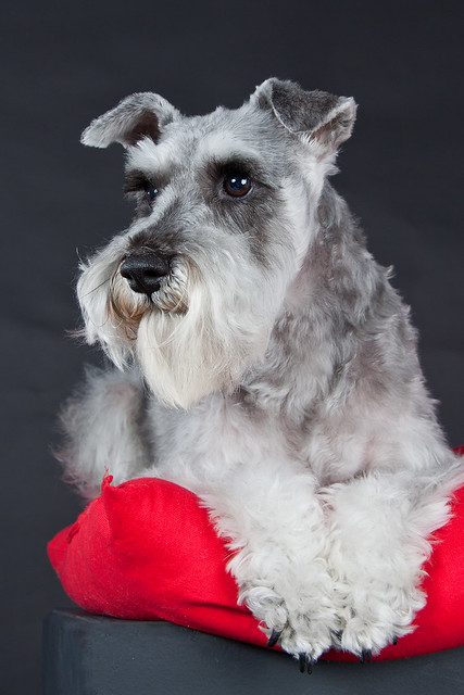 Millie - Miniature Schnauzer | Flickr - Photo Sharing!