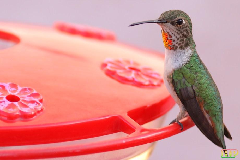 Allen's Hummingbird 012212
