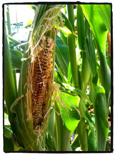 rats get corn!