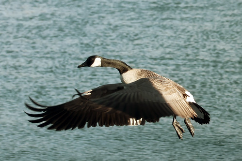 Goose on the River by Barb Phillips