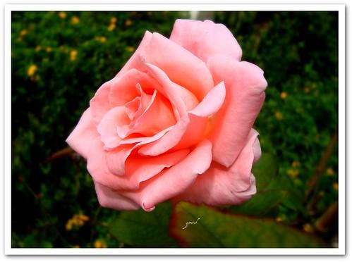 lavie[en]rose