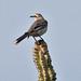 136 Mockingbirds and Thrashers