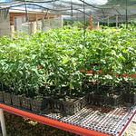 Intsia bijuga seedlings