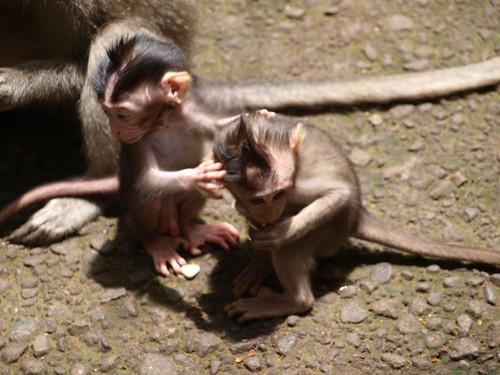 бали, обезьяны6