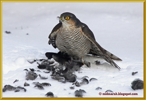Sparrowhawk with Blackbird