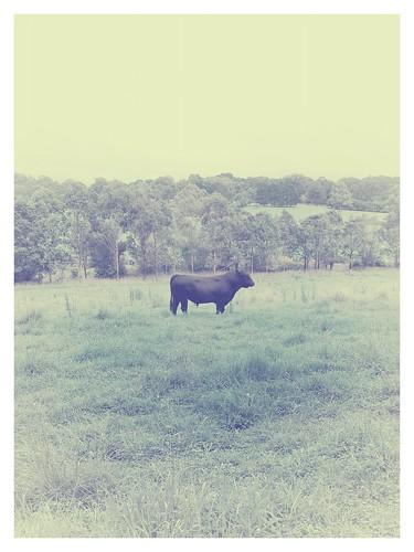 I found a bull on band camp!