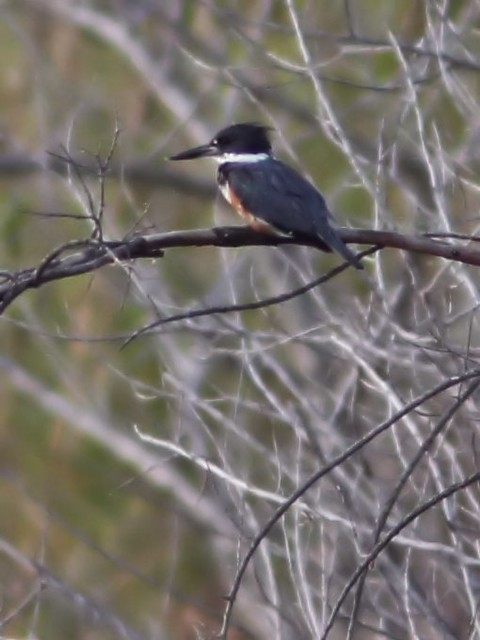 Belted Kingfisher female 2-20140320