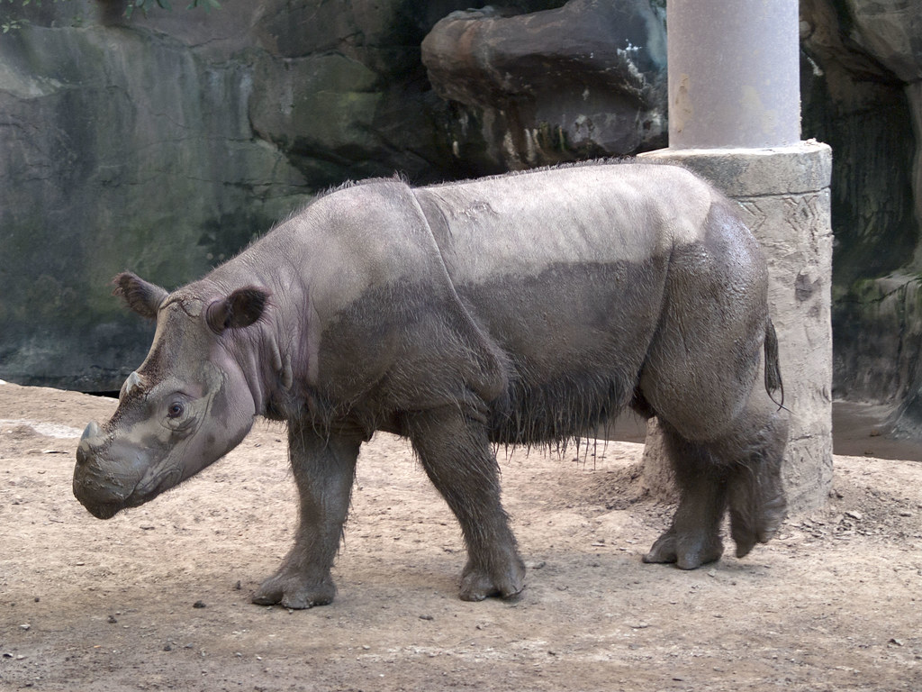 Cincinnati Zoo 09-01-2009 - Sumatran Rhinoceros 11
