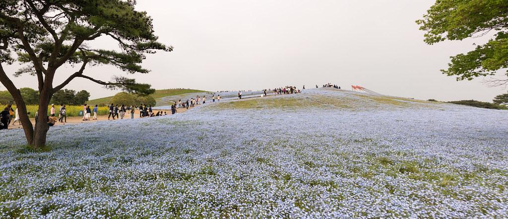 ひたち海浜公園、みはらしの丘のネモフィラ群