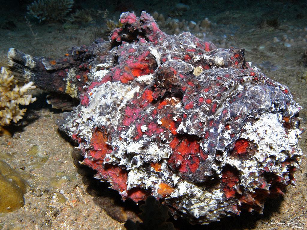Pez piedra t mido venenoso y casi invisible habitante for Como se cultivan los peces