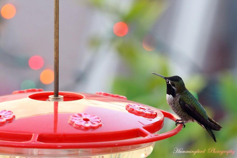 Anna's Hummingbird 120111-5