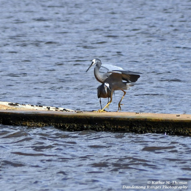 White faced Grey Heron protecting its young
