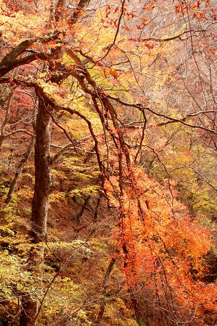 川乗山の紅葉