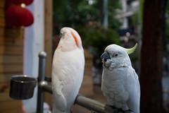 zoo(0.0), cockatoo(1.0), animal(1.0), parrot(1.0), pet(1.0), sulphur crested cockatoo(1.0), fauna(1.0), parakeet(1.0), common pet parakeet(1.0), beak(1.0), bird(1.0),