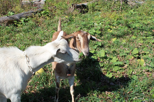 Goats are use to help remove unwanted invasive plants; multiflora rose is their favorite.