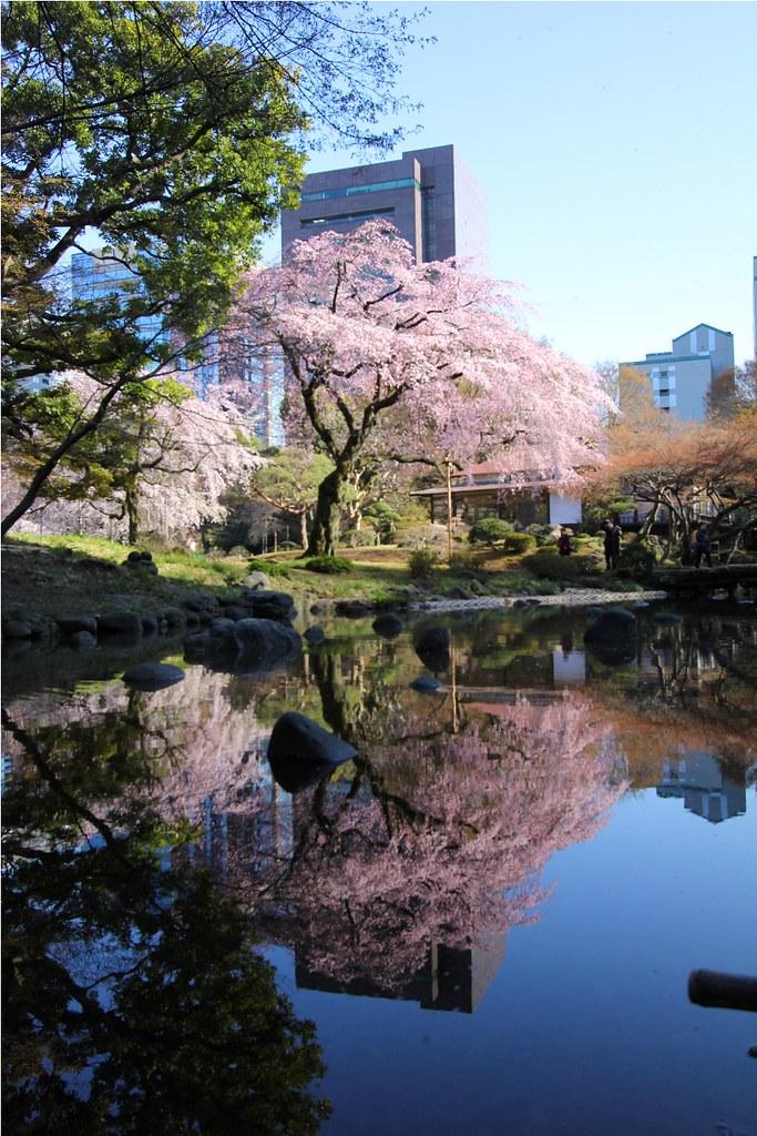 Sakura Photo 2011Koishikawa Botanical Gardens (10)