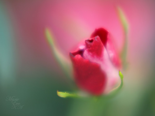 Rose bud dream..