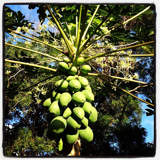 #papaya at #twinfalls on #roadtohana. It looks like this is a hermaphrodite tree, but really the male tree (with the long flower spikes) is behind the female (fruit-bearing) one