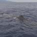 Female Sperm Whale by Hugh Madelin