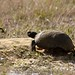 Gopher Tortoise (Gopherus polyphemus) by scott_clark
