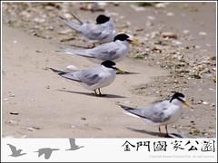 小燕鷗-01.jpg