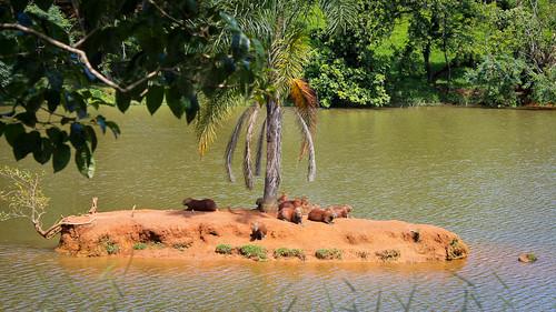 Capybara Island