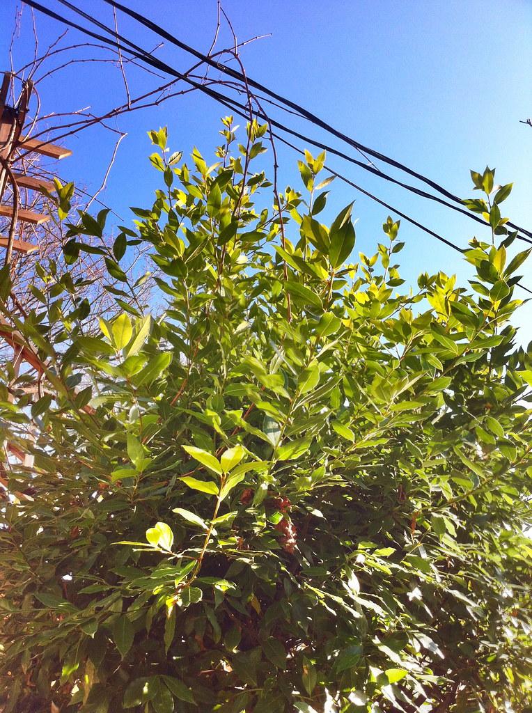 Bay Tree and Grape Vine
