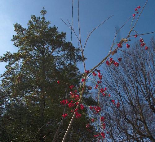 White Pine, Red Berries, Blue Sky