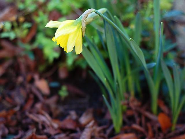 A blooming yellow daffodil