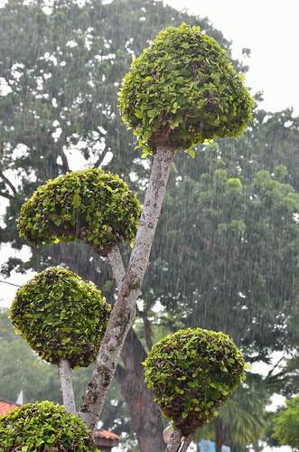 Heavy rain and shaped tree