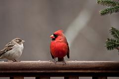 animal, sparrow, red, fauna, cardinal, beak, bird, wildlife,